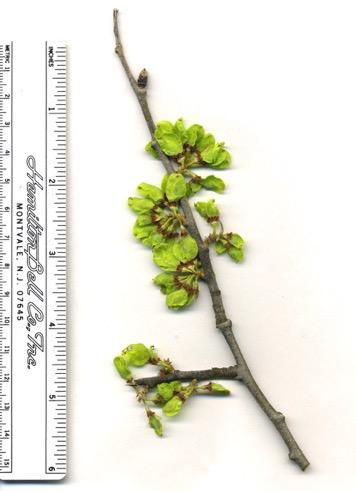 Ulmus rubra Apr2007b