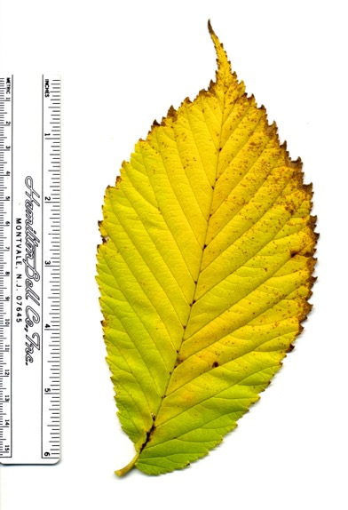 Ulmus rubra Oct2008a