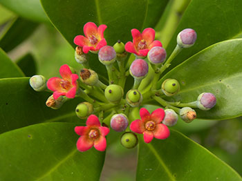 canella winterana flowers 1
