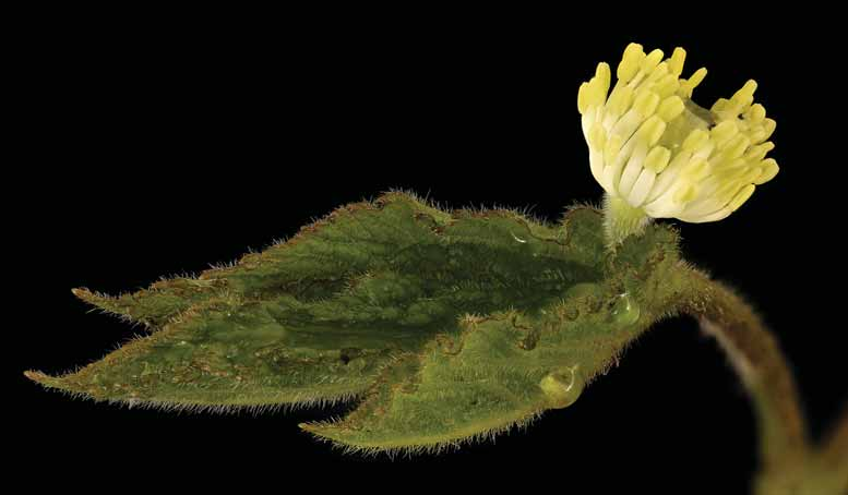 Hydrastis canadensis,