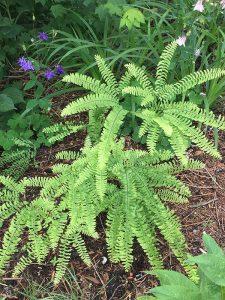 Maidenhair fern, an at-risk beauty