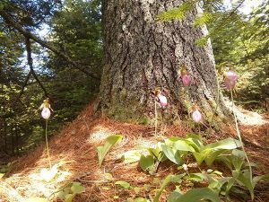Ladyslipper's and White Pine
