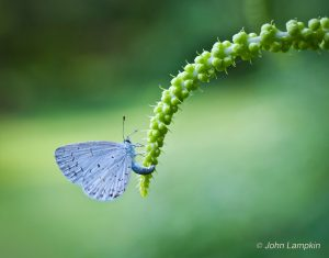 Azure Butterfly on Black Cohosh by Robert Lampkin
