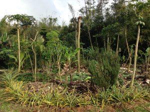 RecentlyPruneAgroforest