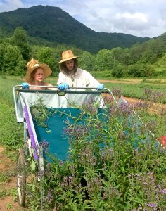 Harvesting Blue Vervain (Verbena hastata)