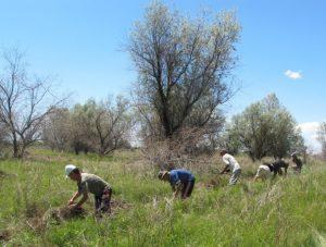 Harvesting wild licorice 2013
