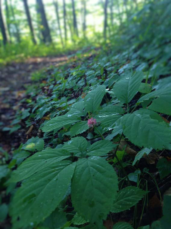 ginseng in the forest