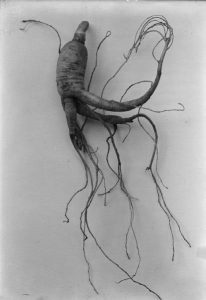 Ginseng Root – Credit: University of Kentucky, Agricultural Experiment Station Negatives, 1898.