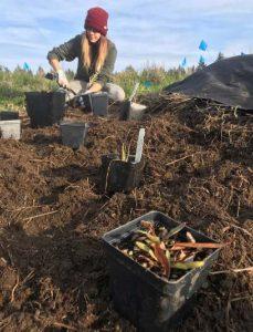 planting coastal mugwort