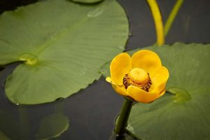 yellow pond lily closeup