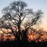 Oak Silhouette