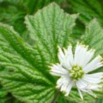 Goldenseal – Hydrastis canadensis, photo by Steven Foster