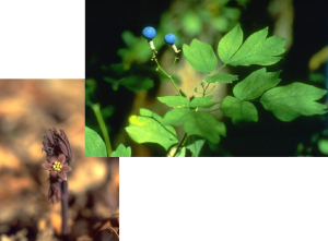 Blue Cohosh - Caulophyllum thalictroides, photos by Steven Foster