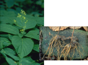 Stone Root - Collinsonia canadensis, photos by Steven Foster