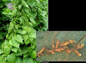 Wild Yam - Dioscorea villosa, photos by Steven Foster