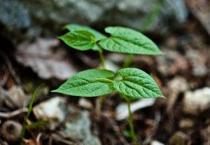 Virginina Snakeroot – Aristolochia serpentaria, photo by Steven Foster