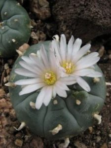 Peyote – Lophophora williamsii, photo by Steven Foster