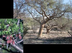 Elephant Tree - Bursera microphylla, photos by Steven Foster