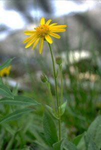 Arnica - Arnica spp., photo by Steven Foster