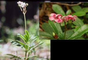 Pipsissewa - Chimaphila umbellata, photos by Steven Foster