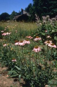 Echinacea angustifolia, photo by Steven Foster