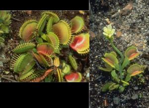 Venus Fly Trap – Dionaea muscipula, photo by Steven Foster