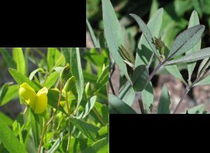 Wild Indigo - Baptisia tinctoria, photos by Steven Foster