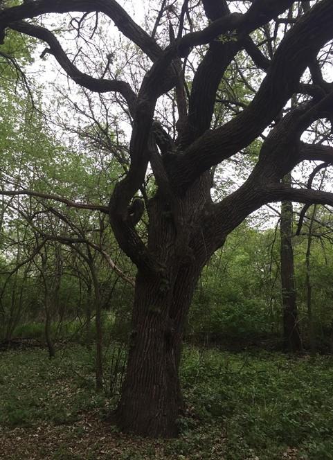 Restoring the Midwest Oak Savanna Ecosystem