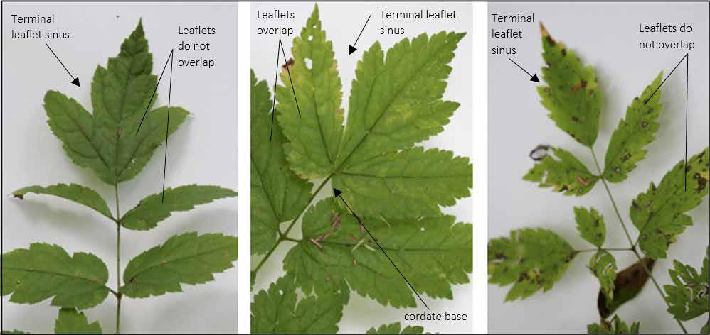 leavesofblackcohosh