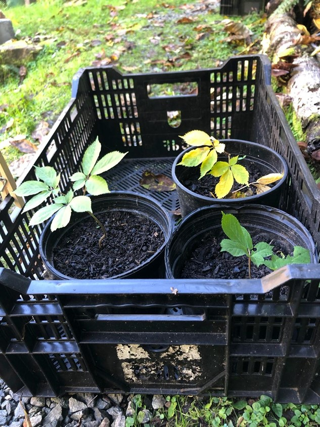 Young ginseng plants available for sale at Eagle Feather Farm